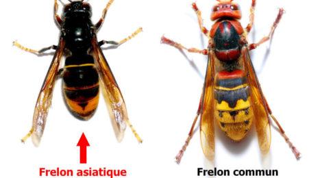 Frelons asiatiques