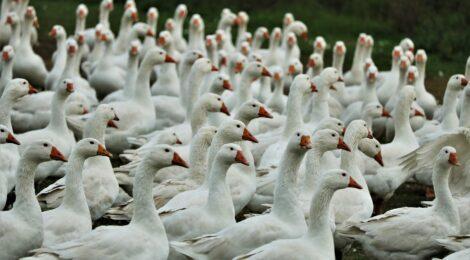 Risque élevé influenza aviaire